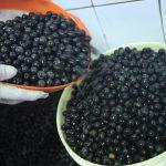 Ministério da Agricultura atualiza parâmetros de qualidade para o açaí